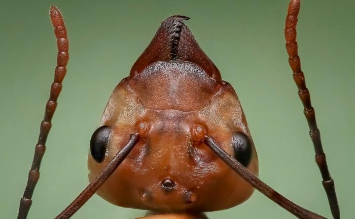 hur många ben har en myra